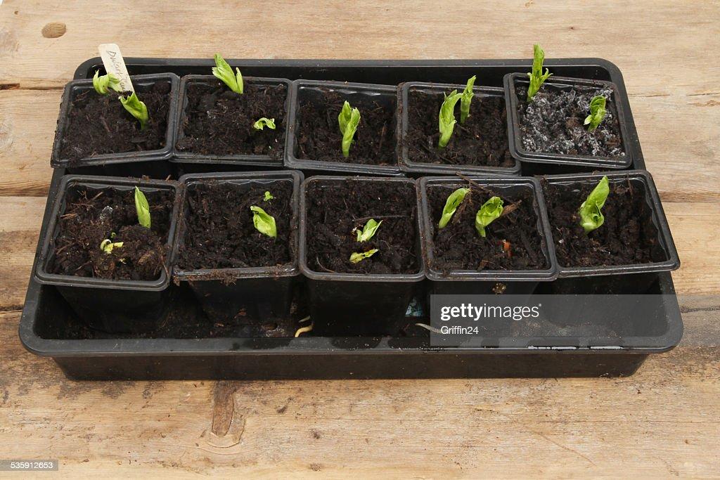 Seedlings : Stock Photo