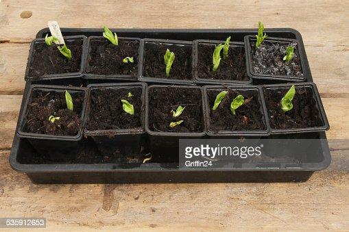 Seedlings : Foto de stock