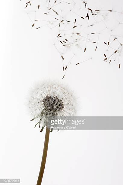 Seeds blow from dandelion clock, white background