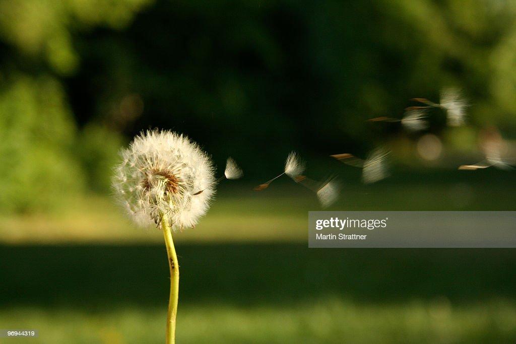 Seeds blowing off of dandelion