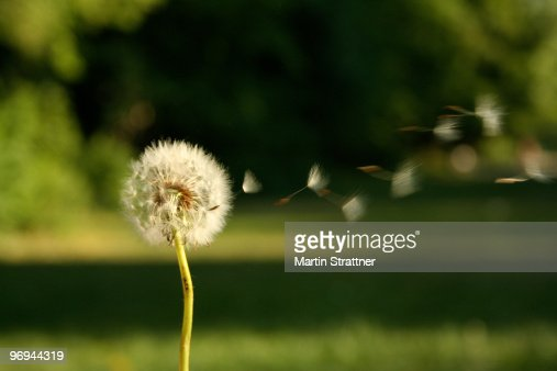 Seeds blowing off of dandelion