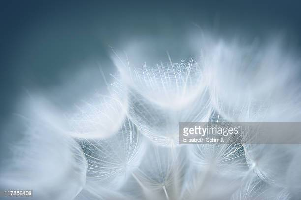 Seeds of Goatsbeard