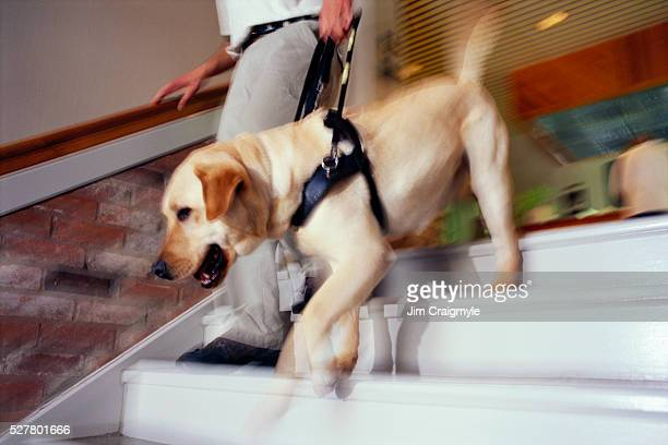 Seeing Eye Dog Helping Man Descending Steps