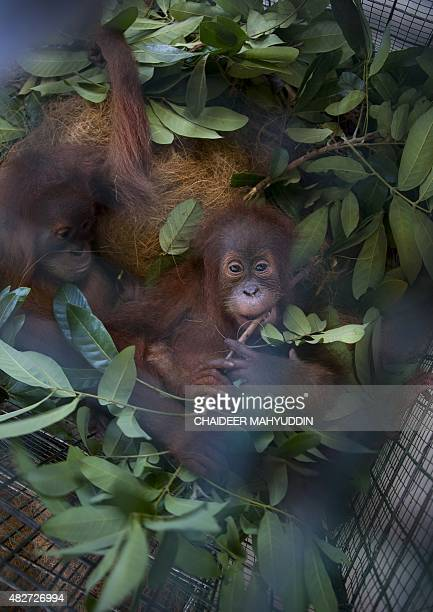 A seized baby orangutan is seen at a police station in Banda Aceh on August 2 2015 Police along with Aceh province's Natural Conservation Agency and...