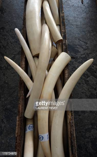 Seized ivory tusks are displayed to the press in Hong Kong on August 7 2013 Hong Kong customs seized an illegal shipment of ivory tusks rhino horns...