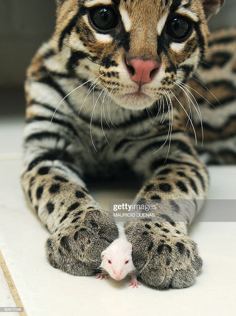 A seized ocelot whose claws have been cut holds a mouse at a reception centre for wild animals in Bogota on September 18 2008 Keeping wild animals at...