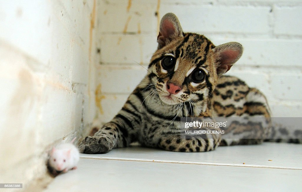 A seized ocelot whose claws have been cut is seen with a mouse at a reception centre for wild animals in Bogota on September 18 2008 Keeping wild...