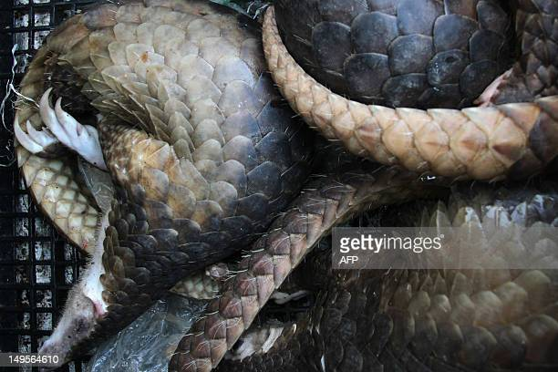 Seized pangolins are held in plastic crates in Medan city on July 31 2012 Indonesian police have intercepted 85 endangered pangolins most of them...