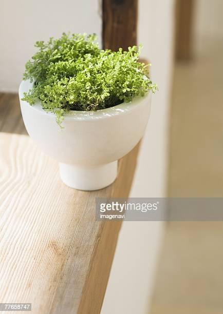 Selaginella