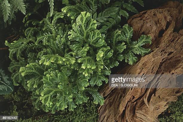 Selaginellaceae Selaginella Martensii