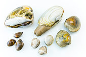 Different assorted clams with a white background. Included are Pismo, geoduck, hard shell, Manilla, and cherrystone.
