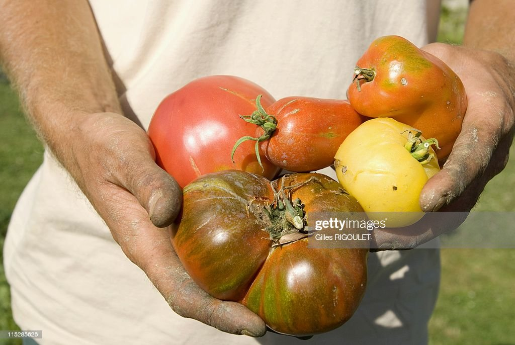 The national conservatory of tomato getty images - La bourdaisiere tomates ...