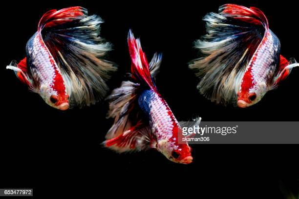 Selective focus and one dramatic  lighting on the top  of betta fish (Crown Tail) Siamese fighting fish (betta)