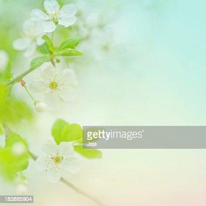 Selective focus close up of spring cherry blossom