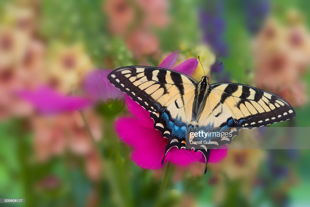 Selective focus on eastern tiger swallowtail : Stock Photo