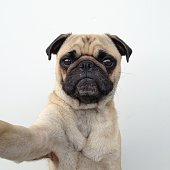 Self portrait of pug