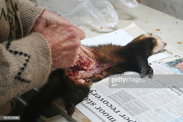 Self proclaimed 'Roadkill Connoisseur' Arthur Boyt prepares a dead polecat at his home in Davidstow in Cornwall England on September 10 2013 Take one...