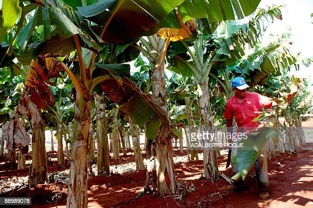 A selfemployed Cuban farmer clears his banana plantation July 12 2009 at the village of Managua outskirts of Havana A 2008 law that encourages the...