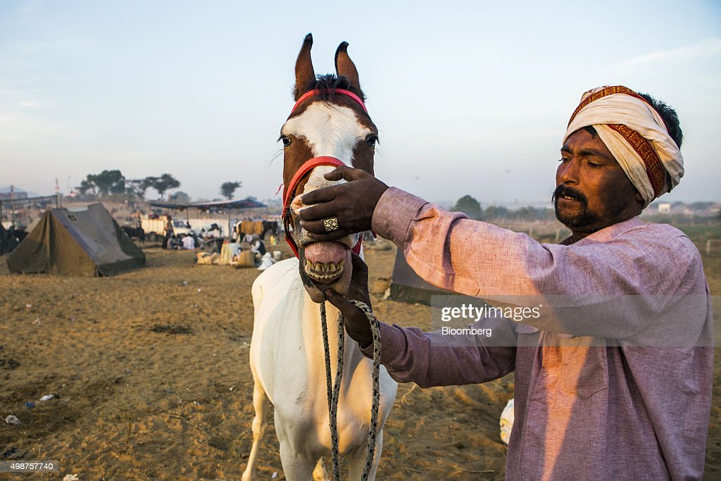 A seller displays a horse's teeth for potential buyers, unseen, at the fairgrounds of the Pushkar Camel Fair in Pushkar, Rajasthan, India, on Sunday, Nov. 22, 2015. Throw together hundreds of thousands of rural Indians, colorful festivals and throngs of tourists and you get the annual Pushkar Fair. Photographer: Prashanth Vishwanathan/Bloomberg via Getty Images