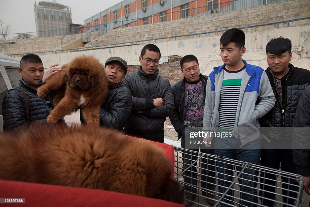 A seller displays a young Tibetan mastiff dog (L) for buyers at a mastiff show in Baoding, Hebei province, south of Beijing on March 9, 2013. Fetching prices up to around 750,000 USD, mastiffs have become a prized status-symbol amongst China's wealthy, with rich buyers across the country sending prices skyrocketing. Owners say the mastiffs, descendents of dogs used for hunting by nomadic tribes in central Asia and Tibet are fiercely loyal and protective. Breeders still travel to the Himalayan plateau to collect young puppies, although many are unable to adjust to the low altitudes and die during the journey. AFP PHOTO / Ed Jones