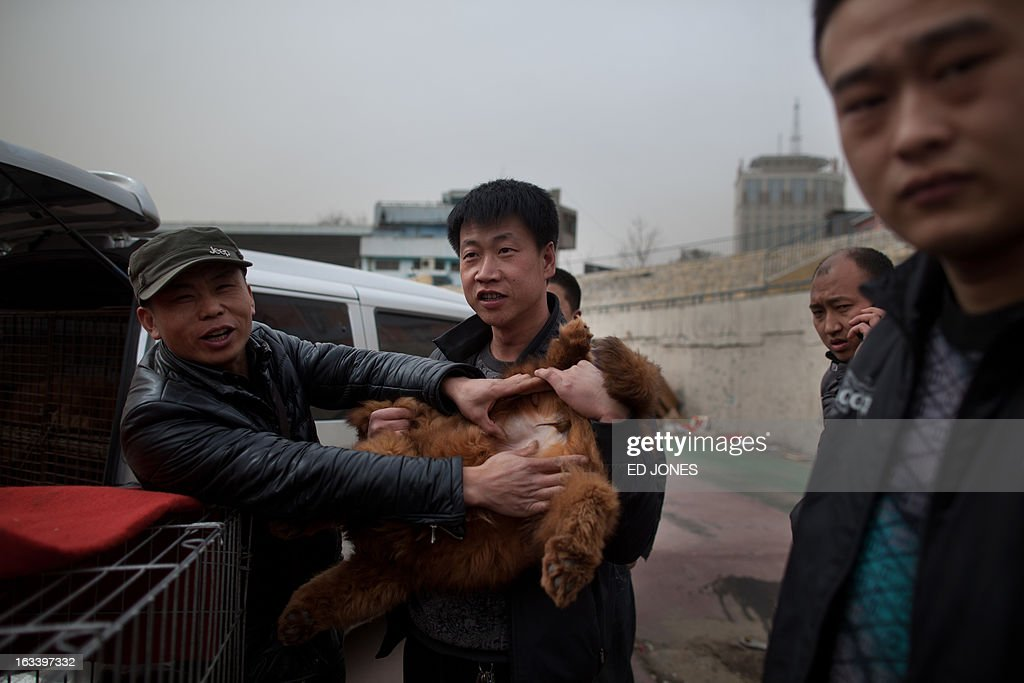 A seller displays the sex of his Tibetan mastiff dog for potential buyers at a mastiff show in Baoding, Hebei province, south of Beijing on March 9, 2013. Fetching prices up to around 750,000 USD, mastiffs have become a prized status-symbol amongst China's wealthy, with rich buyers across the country sending prices skyrocketing. Owners say the mastiffs, descendents of dogs used for hunting by nomadic tribes in central Asia and Tibet are fiercely loyal and protective. Breeders still travel to the Himalayan plateau to collect young puppies, although many are unable to adjust to the low altitudes and die during the journey. AFP PHOTO / Ed Jones