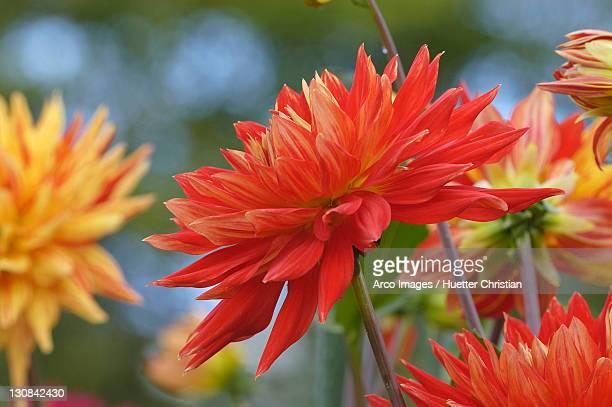 Semicactus Dahlia (Dahlia x cultorum)
