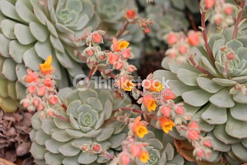 sempervivum tectorum orange en fleur crassulaceae joubarbe des toits photo thinkstock. Black Bedroom Furniture Sets. Home Design Ideas
