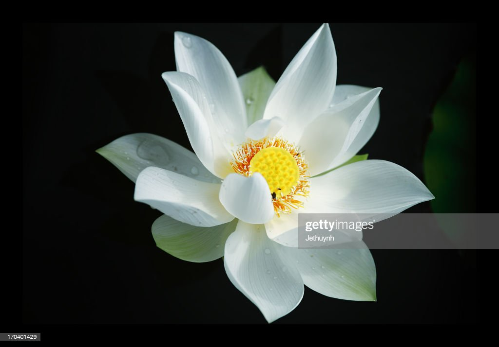 Sen Trang  -  White Lotus : Stock Photo