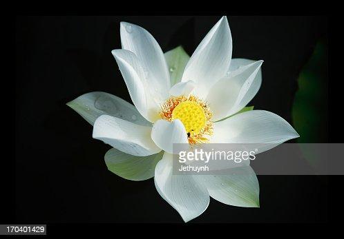 Sen Trang  -  White Lotus : Stock Photo