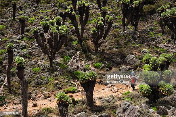 Senecio plants and Porter, Mount Kilimanjaro, Tanzania