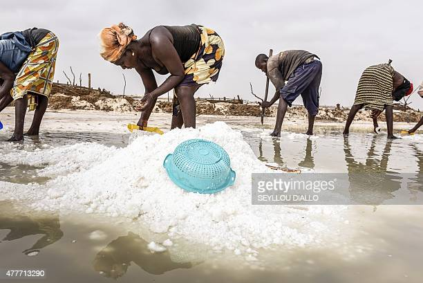 Senegalese workers harvest salt on June 9 2015 at the Ndieumou salt fields near Fatick western Senegal Salt harvesting despite harsh working...