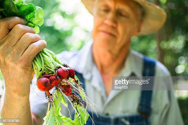 Senior Erwachsener Mann landwirt Favoriten radishes auf der farm. Bio-Gemüse.