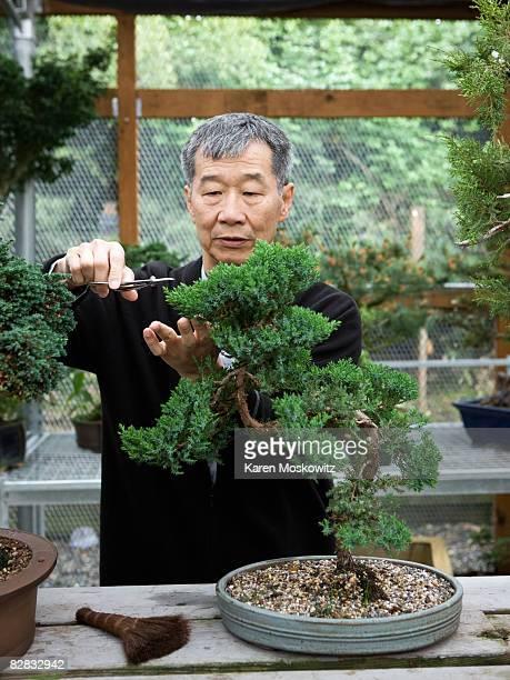 Senior Asian man trimming bonsai vertical
