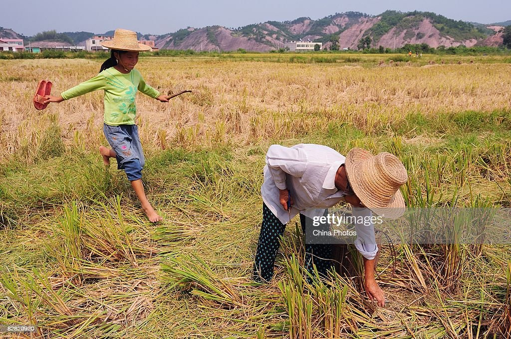 A senior citizen and her granddaughter pick paddy spikes in a field at the Shangshan Village on September 14, 2008 in Xiushui County of Jiangxi Province, China. It is estimated the central government budget allocated to agriculture will total 562.5 billion yuan (approximately USD 82.36 billion), an increase of over 20 percent on the previous year.