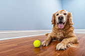 A low angle view of a senior Golden Retriever looking at the camera as he is lying down on a laminated wood floor with his yellow tennis ball inside his home