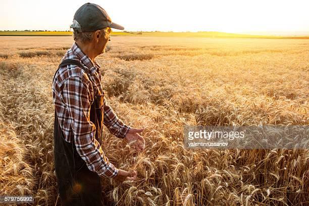 Senior farm worker examining wheat crops field