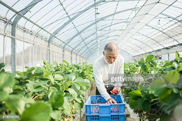 シニア農家の収穫、ストロベリー