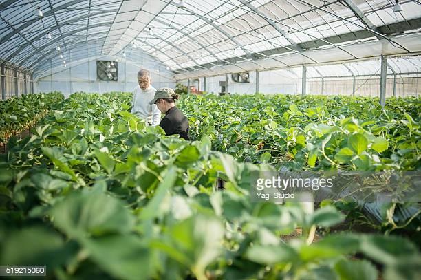 Senior Bauern Arbeiten im Gewächshaus