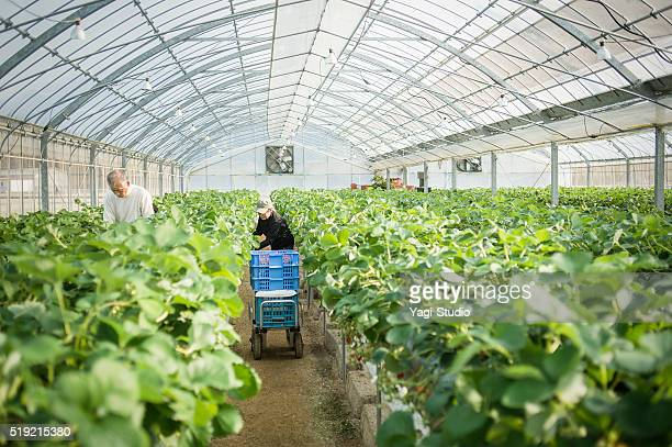Senior farmers working in a greenhouse