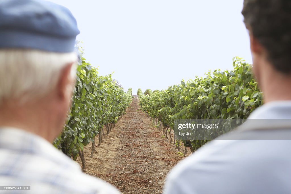 Senior father and son standing in vine terrace, rear view : Stock Photo