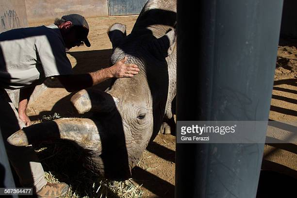 Senior Keeper Ken McCaffree tends to critically endangered Nola a 40yearold Northern White Rhino at the San Diego Zoo Safari Park on January 6 2015...