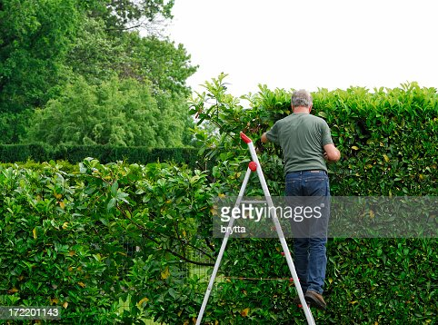 Senior man cutting  laurel hedge in springtime