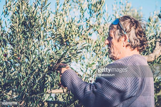 Senior Man Harvesting Olives on Brac Island, Croatia, Europe