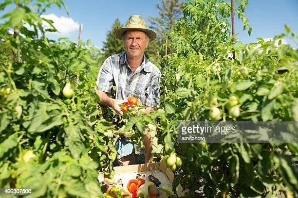 senior man harvesting tomatoes