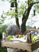 Senior man in garden carrying crate of apples on shoulder, rear view
