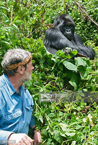 Senior man next to a Silverback Mountain Gorilla, wildlife shot