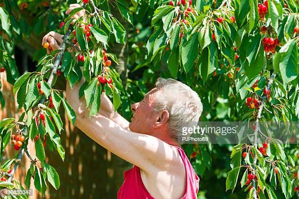 Senior man セレクションチェリーズからの木