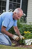 Senior man preparing the roots of marigold flowers to plant in garden