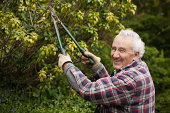 Senior man pruning hedges