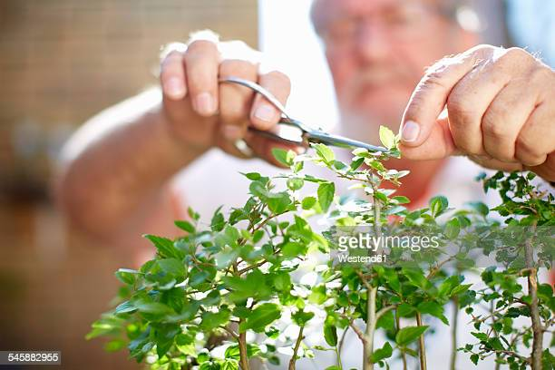 Senior man pruning plant